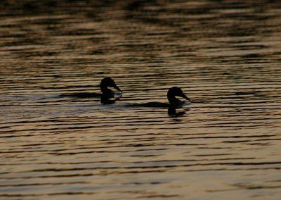 ducks-14864